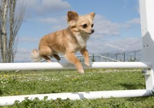 jumping chihuahua