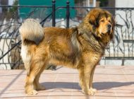 Portrait of a beautiful dog breed Tibetan Mastiff