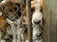 Pack of hounds, in their kennel.
